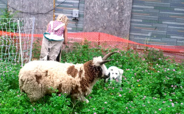 One of the Green Shepherd Project's sheep, being herded by a friendly neighborhood dog.