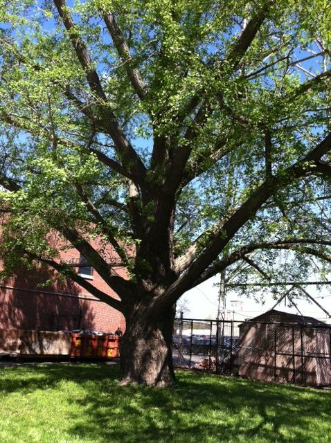 The Ginkgo behind Apparatus at 14th and Meridian