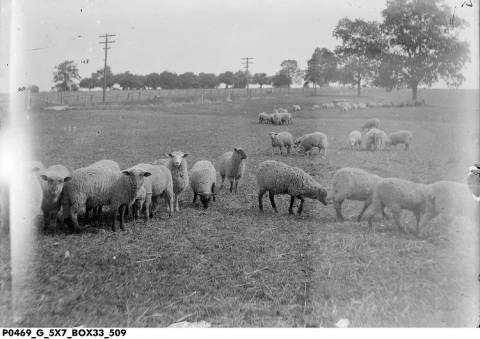 Sheep are not known for their judicious eating habits. If left unattended, they won't stop eating!